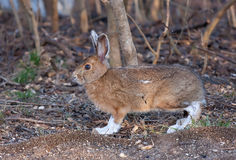 Snowshoe hare or Varying hare (Lepus americanus) in Spring stock image