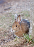 Snowshoe hare in Spring Stock Photos