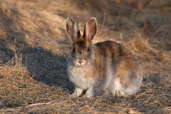 Snowshoe hare in spring Stock Photography