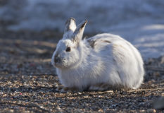 Snowshoe hare Lepus americanus in the spring. Snowshoe hare Lepus americanus in spring Royalty Free Stock Photos