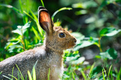 Snowshoe Hare (Lepus americanus). Snowshoe Hare in summer colours feeding on grass Stock Photos