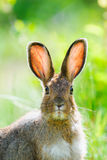 Snowshoe Hare (Lepus americanus). Snowshoe Hare in summer colours feeding on grass Stock Image