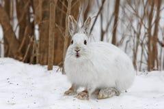 Snowshoe hare. Lepus americanus in winter Stock Image