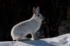 Snowshoe hare. Lepus americanus in winter Stock Image