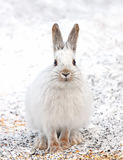 Snowshoe hare. Lepus americanus in winter Royalty Free Stock Images