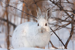 Snowshoe hare or Varying hare (Lepus americanus) closeup in winter in Canada stock photography