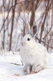 Snowshoe hare or Varying hare (Lepus americanus) closeup in winter in Canada royalty free stock images