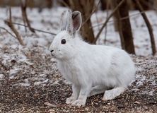 Snowshoe hare or Varying hare (Lepus americanus) closeup in winter in Canada stock photo