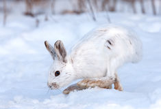 Snowshoe hare in winter Stock Image