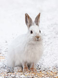 Snowshoe hare or Varying hare (Lepus americanus) closeup in winter in Canada royalty free stock photography