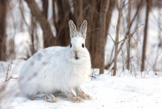 Snowshoe hare or Varying hare (Lepus americanus) closeup in winter in Canada royalty free stock photos