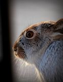 Snowshoe Hare. Photograph of a snowshoe hare in Montana Royalty Free Stock Photo