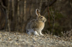 Snowshoe Hare Portrait royalty free stock photography