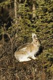 Snowshoe hare, rabbit, bunny. Wild relative of the rabbit, snowshoe hare, is eating and warming under spring sun Royalty Free Stock Images