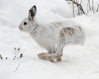 Snowshoe hare running Royalty Free Stock Photos
