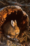 Snowshoe hare sitting in the end of a log (Lepus americanus), Al Stock Photo
