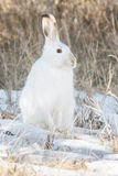 Snowshoe Hare Royalty Free Stock Photos