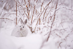 Snowshoe hare in the snow. A snowshoe hare with it`s white winter fur in Réserve Ashuapmushuan Quebec, Canada in November of 2016 Stock Images