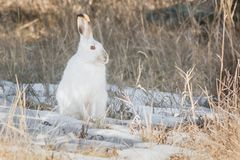 Snowshoe Hare. Sitting in the snow. Hermitage Park, Edmonton, Alberta, Canada Stock Photos
