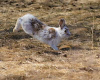 Snowshoe Hare in Spring. Jumping snowshoe hare, changing colour to brown in spring Royalty Free Stock Photos
