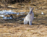 Snowshoe hare in spring Royalty Free Stock Image