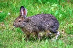 A snowshoe hare standing on all legs hopping.  Royalty Free Stock Photo