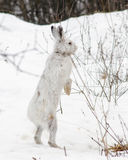 Snowshoe Hare Standing. Snowshoe hare stands on hind legs in snow Stock Images