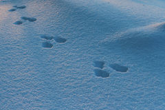 Snowshoe Hare Tracks in Snow. Tracks from a snowshoe hare in the snow in Alaska Royalty Free Stock Photography