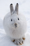 Snowshoe Hare. White snowshoe hare in winter, front view Royalty Free Stock Photo