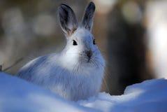 Snowshoe-Hasen Lizenzfreies Stockfoto