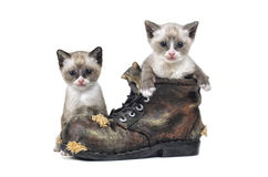 Snowshoe kittens. This image is of snowshoe kittens playing in an old boot Stock Photo