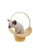 Snowshoe siamese. Snowshoe Lynx-Point siamese kitten in a basket Royalty Free Stock Photos