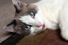 Snowshoe Siamese Close-Up. Close-up head shot of snowshoe siamese cat with blue eyes and tongue sticking out Royalty Free Stock Photography