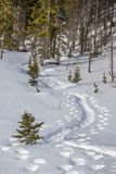 Snowshoe tracks in fresh snow wind through trees. Deep foot prints and tracks of snow-shoeing in fresh, soft, Okanagan powder-dry snow Royalty Free Stock Images