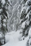 Snowshoe trail with snowy trees on Cypress Mountain. Snowshoe trail amongst the snow covered trees on the Nordic Ski Area trails at Cypress Mountain Stock Image