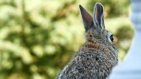 Snowshoe zając królik zbliżenie podczas gdy jedzący - Lepus americanus - zbiory wideo