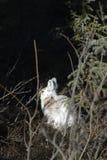Snowshoehasen, wild, nehmend ein Sonnenbad Stockfoto