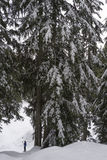 Mount Seymour snowshoe trail with snowy tree. Large tree dwarfs person on snowshoes on Mount Seymour snowshoe trail Stock Image
