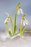 snowsnowdrops Royaltyfria Bilder