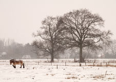 Snowstorm. A single horse head on in a snow storm stock images
