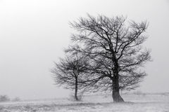 Snowstorm. Two lonely trees stand amidst a snowstorm in the mountain meadows stock images