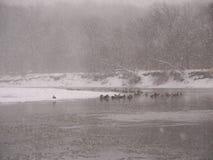 Snowstorm along the Kishwaukee. Geese sit along the Kishwaukee River during a winter snowstorm Stock Photos