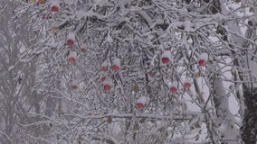 Snowstorm in autumn with red apples on branch and beehives stock footage