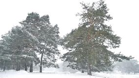 Snowstorm blizzard the nature woods snowing winter, christmas tree and pine forest landscape. Snowstorm blizzard nature woods snowing winter, christmas tree and stock video
