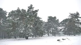 Snowstorm blizzard in nature the woods snowing winter, Christmas tree and pine forest landscape. Snowstorm blizzard in nature woods snowing winter, Christmas stock video footage