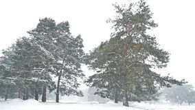 Snowstorm blizzard nature the woods snowing winter, christmas tree and pine forest landscape. Snowstorm blizzard nature woods snowing winter, christmas tree and stock video footage