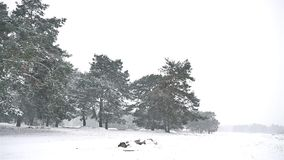Snowstorm blizzard in the nature woods snowing winter, Christmas tree and pine forest landscape. Snowstorm blizzard in nature woods snowing winter, Christmas stock video