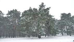Snowstorm blizzard nature in woods snowing winter, Christmas tree and pine forest landscape. Snowstorm blizzard nature in woods snowing winter, Christmas tree stock video footage