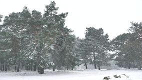 Snowstorm blizzard nature in woods winter snowing, christmas tree and pine forest landscape. Snowstorm blizzard nature in woods winter snowing, christmas tree stock video