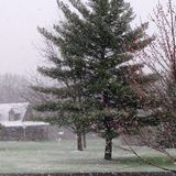 Snowstorm Blizzard in the Spring. Where flowers were blooming on the trees Royalty Free Stock Photography